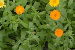 grangette-fleur